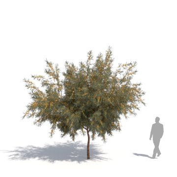laubwerk plants kit 14 acacia